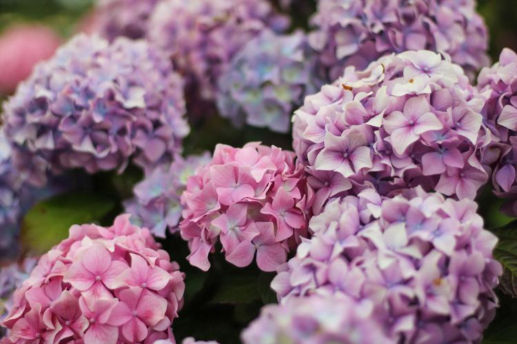 In Full Bloom: 5 Flowering Shrubs to Grow for Your Garden